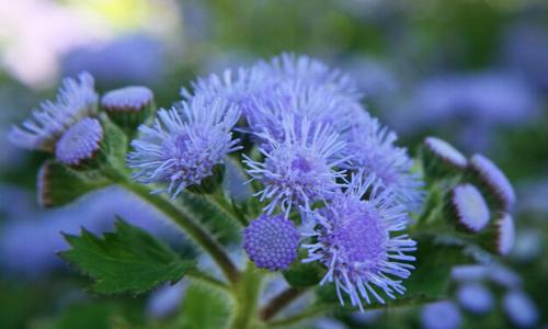 красивые однолетние цветы для сада