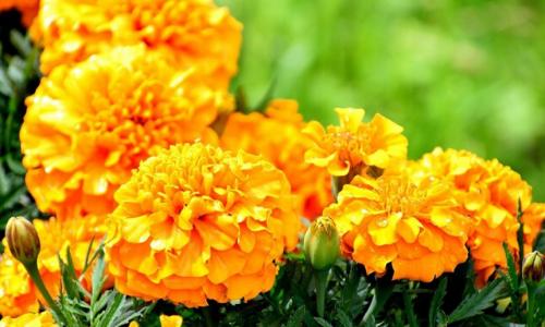 высокие однолетние цветы