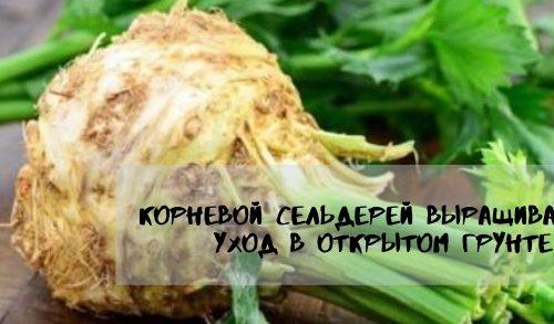корневой сельдерей выращивание и уход в открытом