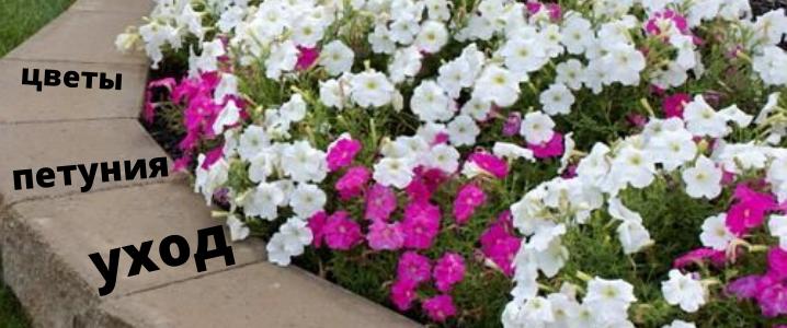 цветы петуния уход