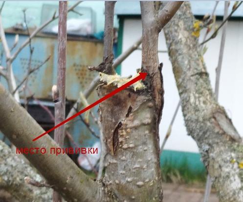 прививка груши на рябину